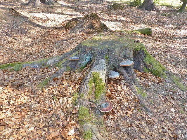 Troudnatec pásovaný na starém smrkovém pařezu