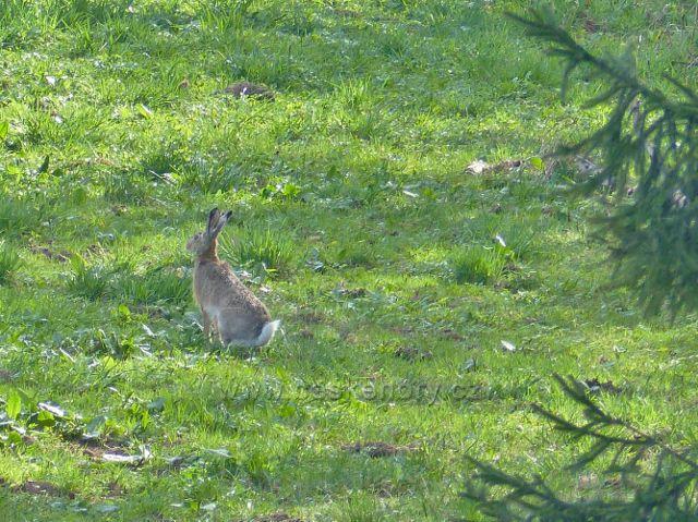 """Vzácně se vyskytující zajíc """"podhorský"""" na úpatí Polova kopce"""