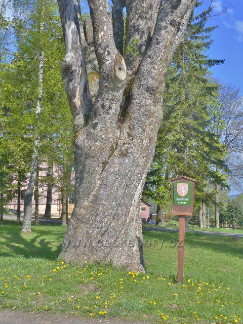Památný strom javor klen v parčíku areálu kláštera na Hedeči