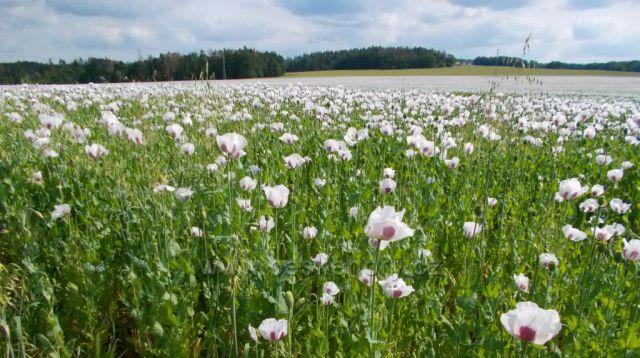 Makové pole u Lukavice