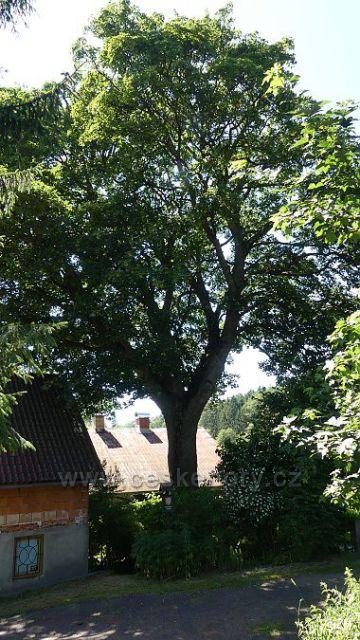 Javor klen, chráněný památný strom ve Vrkoslavicích