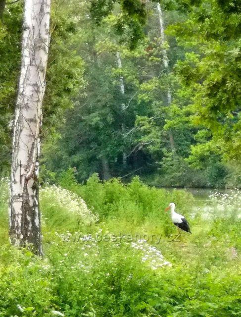 Čápi u Havlovických rybníků