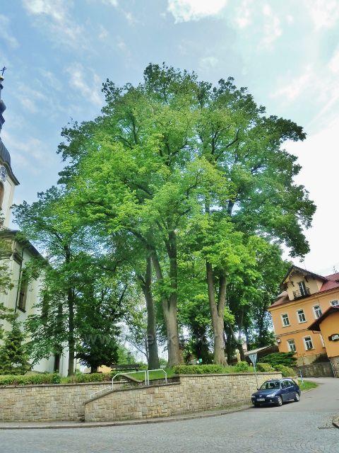 Potštejn - skupina památných lip u kostela sv. Vavřince