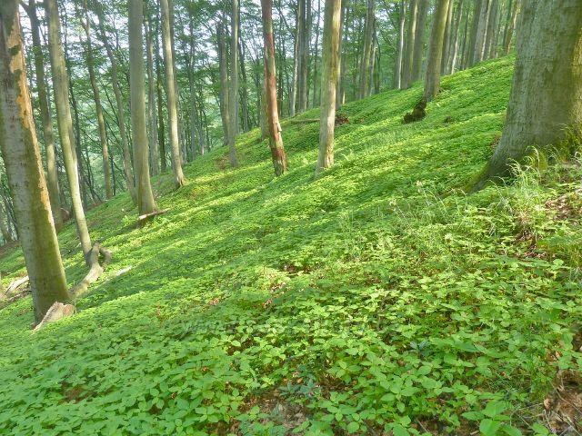 Potštejn - koberec netýkavky tvoří bylinné patro bukového porostu na úbočí Kapradě