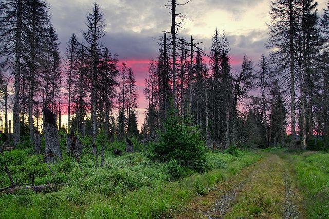 Mrtvý a živý les poblíž Modravy