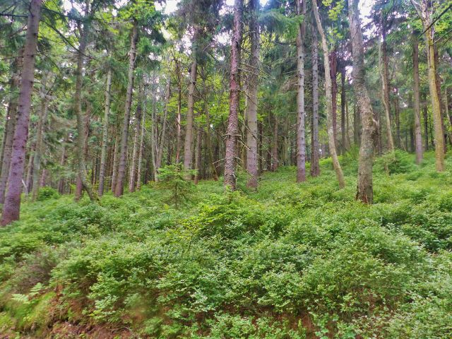 Rýchory - bohatý podrost borůvky ve Dvorském lese