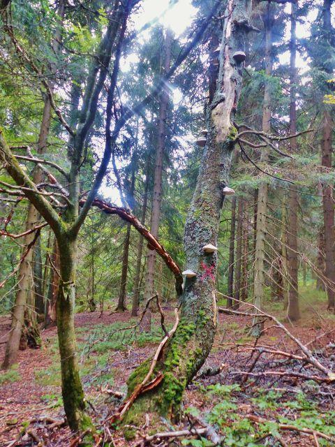 Rýchory - Dvorský les na trase NS Rýchory