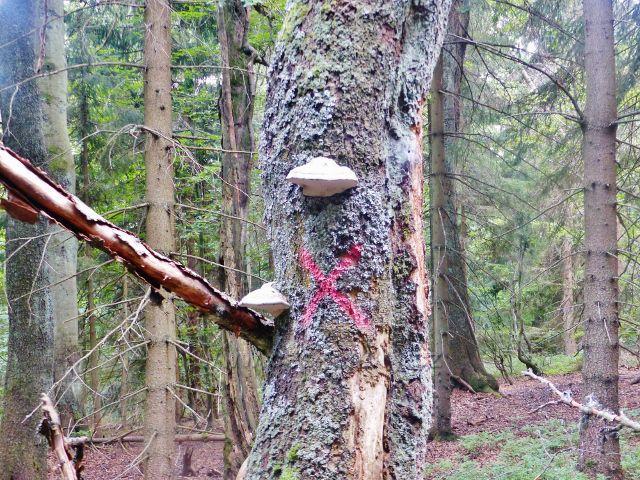 Rýchory- Dvorský les, troudnatec kopytovitý na trase NS Rýchory