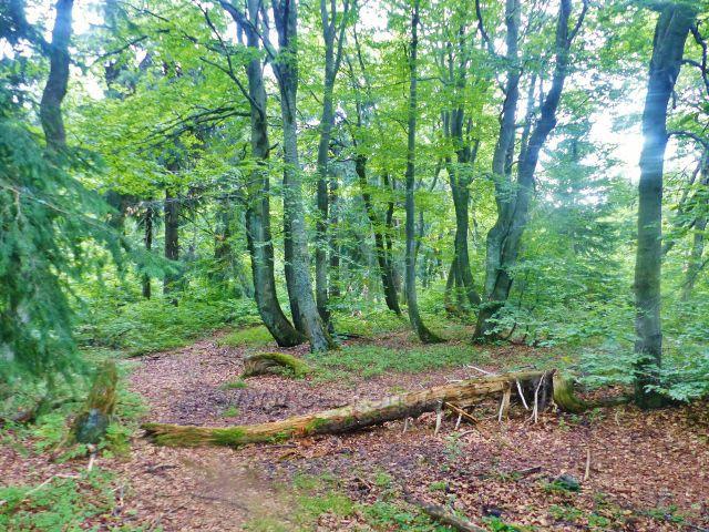 Rýchory -Dvorský les, charakteristický  bukový porost na trase NS Rýchory