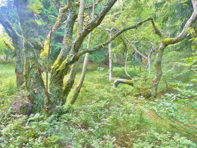 Rýchory - Dvorský les, NS Rýchory,charakteristický bukový porost