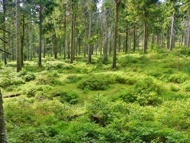Rýchory - borůvkový podrost pod rozcestím Kutná.Rýchory podél Zlaté cesty