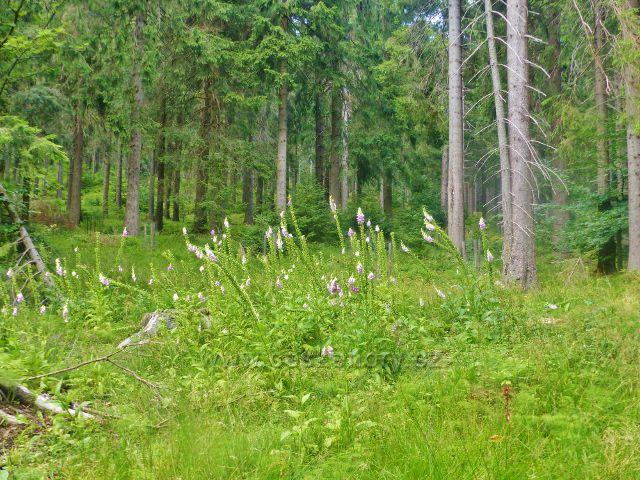 Rýchory - skupina náprstníku červeného nad loveckou chatou Pašovka