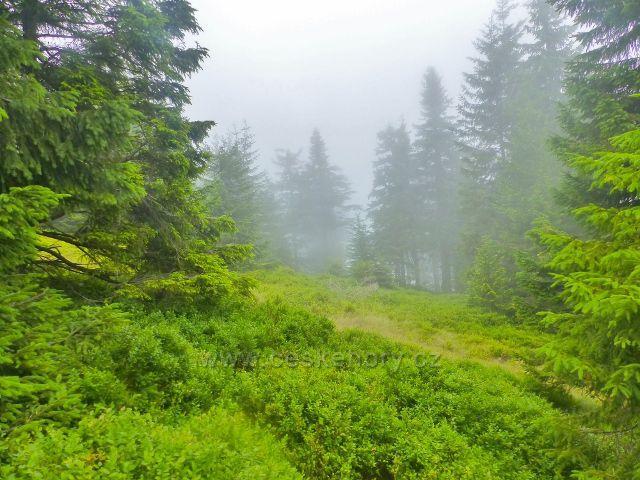 Horní Malá Úpa - Cestu česko-polského přátelství lemují rozsáhlé plochy borůvkového podrostu