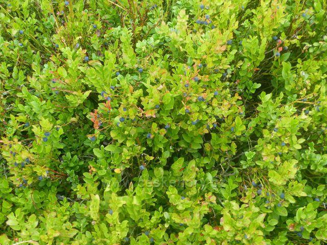 Horní Malá Úpa - úroda borůvek se nevyhnula ani Sovímu sedlu