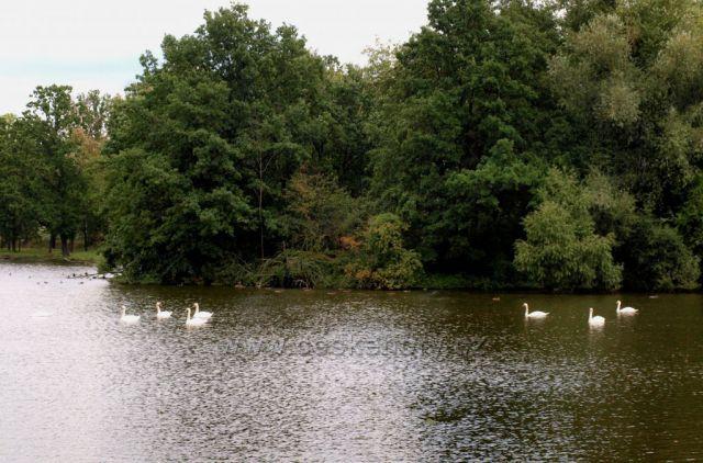 Labutě na rybníku Žďár
