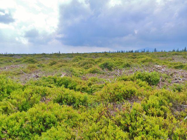 Malá Úpa - vykácená kosodřevina na české satraně plochého vrcholu Lysečinské hory