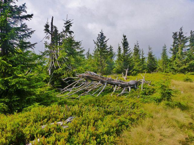 Malá Úpa - lesní porost podél stezky z vrcholu Lysečinské hory k Pomezním boudám