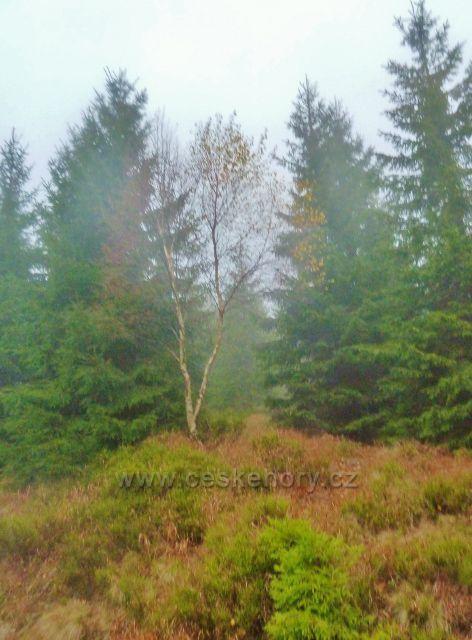 Králický Sněžník - lesní porost podél silničky k chatě Návrší