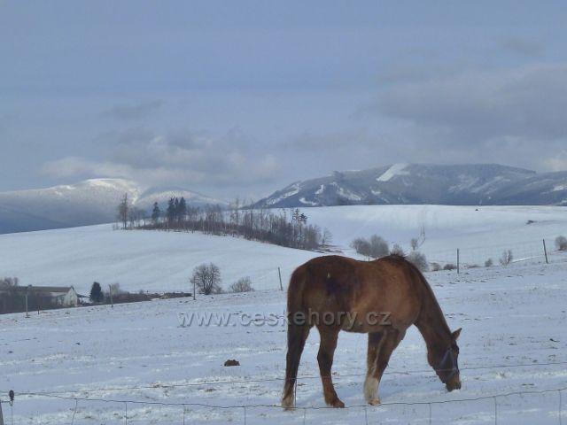 Králíky - zimní pastva pod Mariánským kopcem