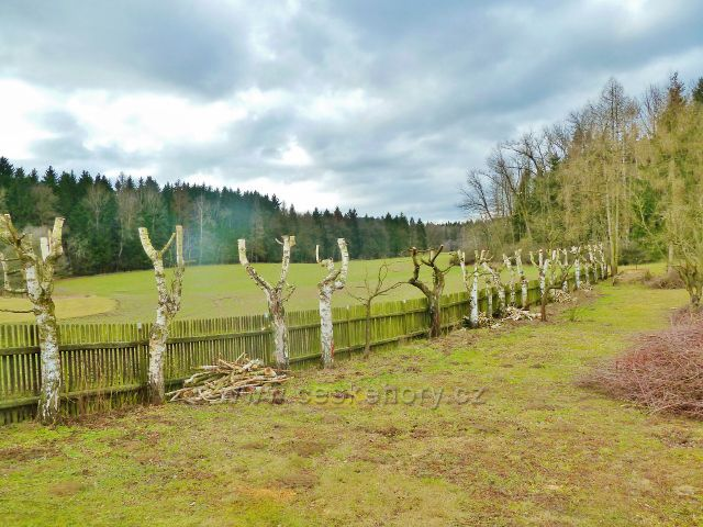 Žamberk - břízy v osadě Kněžství