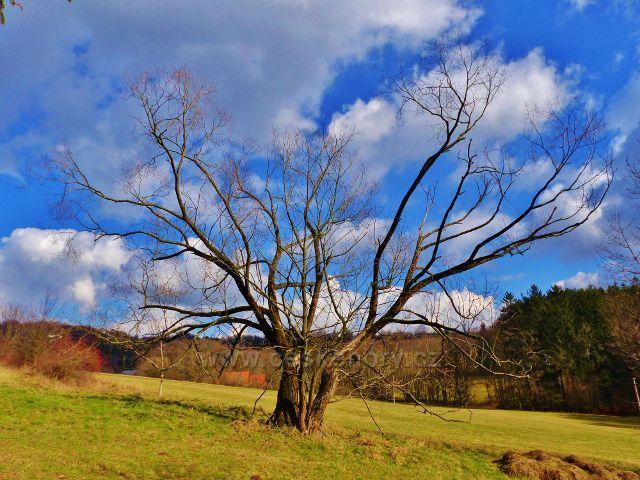 Proruby - koruna osamělého stromu připomíná rozevřené dlaně