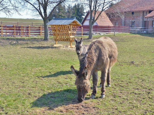 Helvíkovice - oslíci ve výběhu u farmy na Popluží