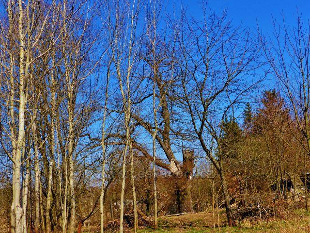 Helvíkovice - dub v Poplužském dvoře