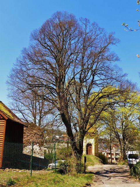 Žamberk - památná lípa u kaple sv.Anny je stará cca 160 let