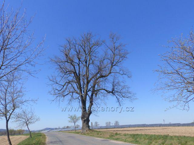 Žamberk - památná lípa srdčitá u Žamberka s obvodem kmene 430 cm.