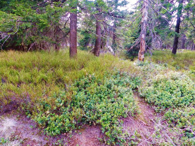 Šerlich - porost borůvky a brusnice na okraji PR Jelení lázeň