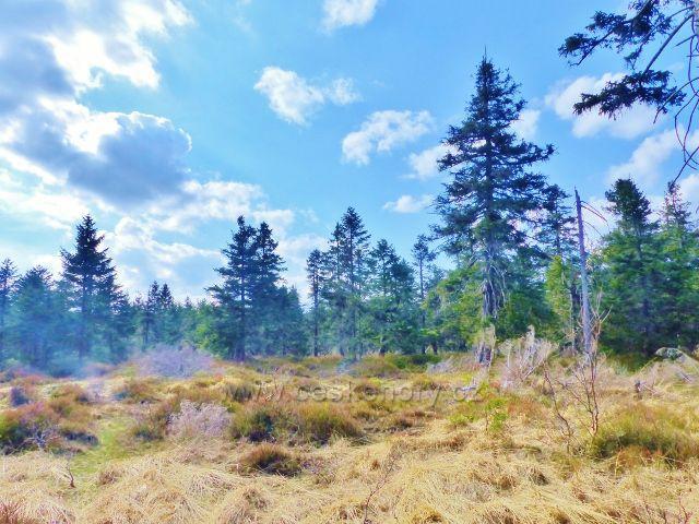 Šerlich - suchem poznamenané rašeliniště v PR Jelení lázeň