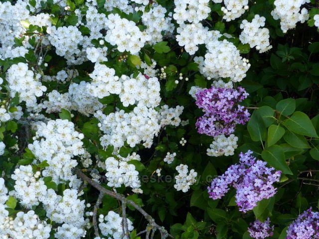 Kunvald - kvetoucí hloh a šeřík u cesty po úbočí Krejsovo kopce
