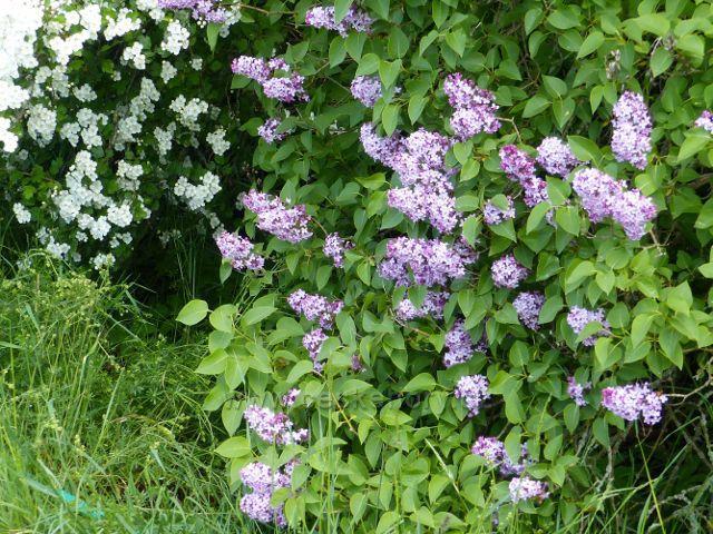 Kunvald - kvetoucí šeřík a hloh u cesty z Krejsovo kopce