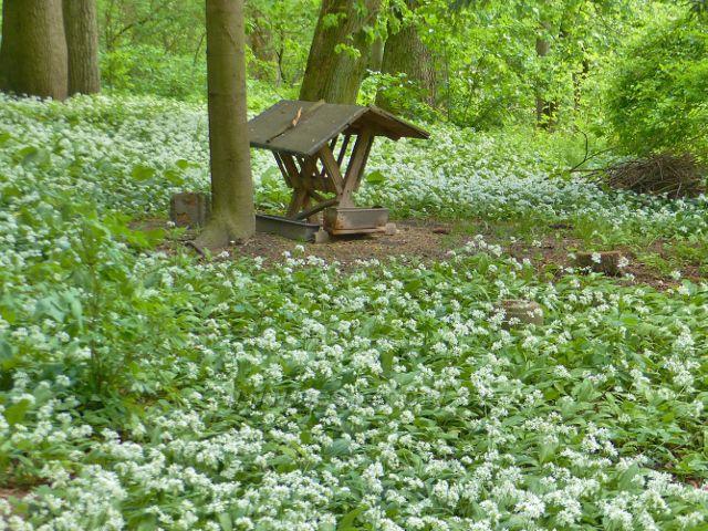 Žamberk - park Albertinum, medvědí česnek v květu