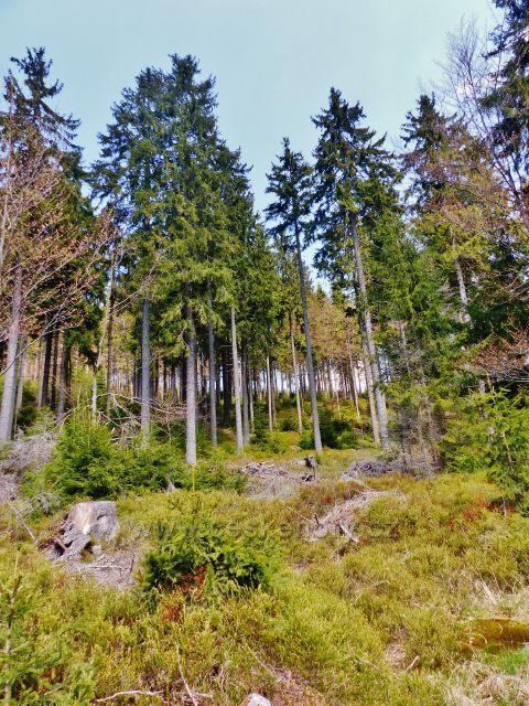 Lesní porost nad cestou k Aloisovu pramenu