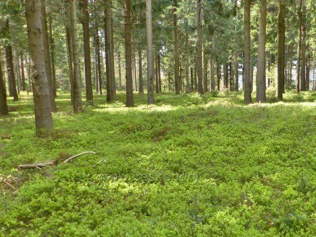 Staré Město - bylinné patro v lesním porostu podél hřebenovky na Hřebeňák tvoří souvislý koberec  borůvky