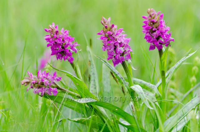 Chráněná orchidej -Prstnatec májový