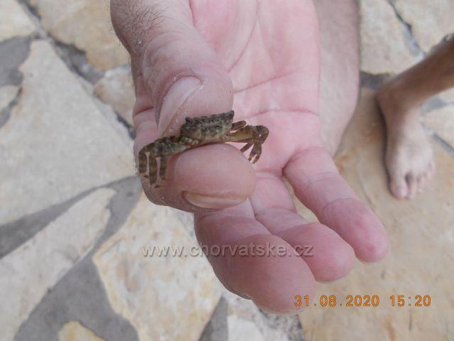 Malý krab vylezl z moře na Hvaru v Jelse