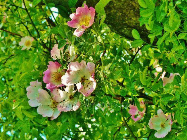 Pastviny na úbočí Starého kopce zdobí růžové květy