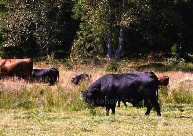 Pastviny u Kvildy, nádherná zvířata