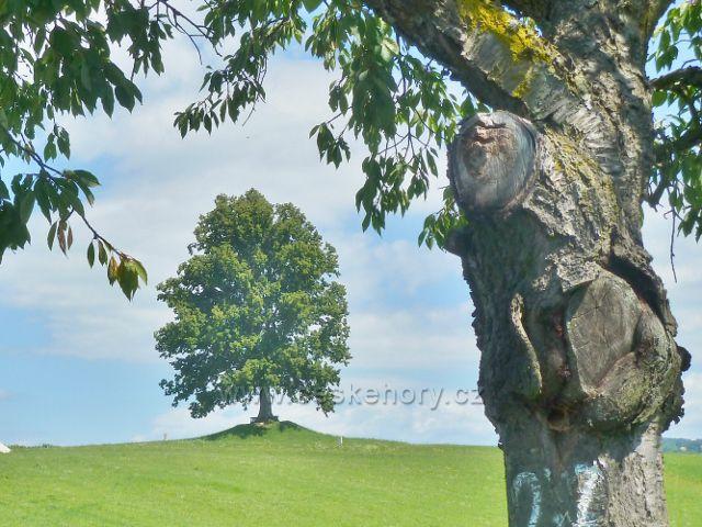 Skuhrov nad Bělou - pohled z aleje na památnou lípu v Hrašticích