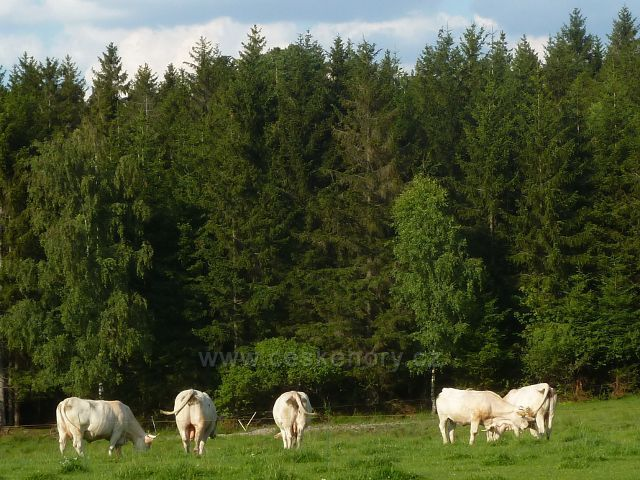 Svratka - pastva skotu u silničky k loveckému zámečku Karlštejn