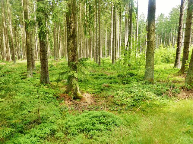 Milovy - lesní porost u silničky do Milov