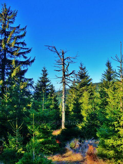 Orlické hory - lesní porost na úbočí Tetřevce