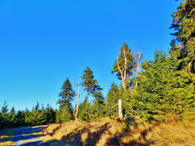 Orlické hory - lesní porost na úbočí Koruny