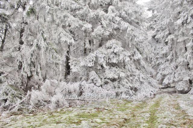 Niemojów - les v bílém hávu
