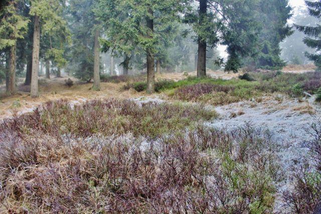 Sedloňov - lesní porost podél hřebenovky k Vrchmezí