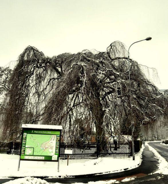 Osek, převislý dub, památný strom, stáří 150let