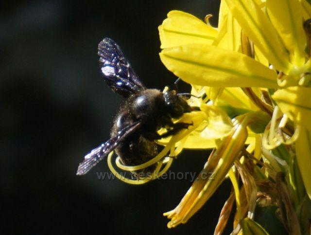 Vzácná černá včela focena ve ŠTRAMBERKU 2020