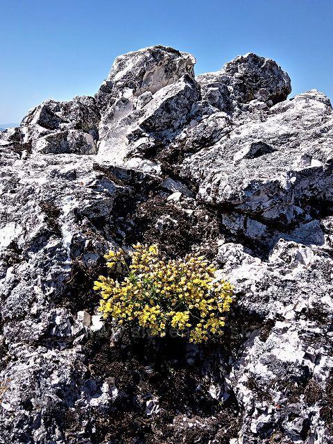 V máji kvitne aj Vrchol Ostrej.